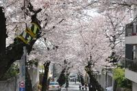 1048神戸市灘区摩耶ケーブル下、桜のトンネル