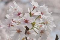 2088王子公園の桜
