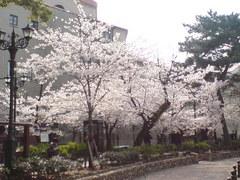 336宝塚市宝塚歌劇花の道・桜