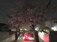 2101夜桜