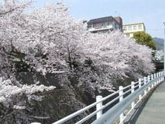 343神戸市灘区篠原本町・杣谷川桜