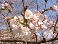 1598神戸市東灘区の桜