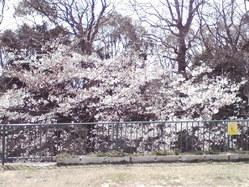 644桜前線、神戸市灘区王子公園