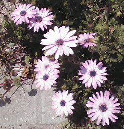 645桜前線、神戸市灘区王子公園