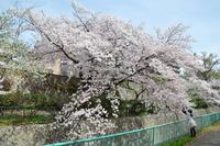 2087王子公園の桜