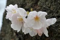 1022神戸市灘区も咲きました