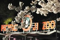 "1038神戸市立王子動物園""夜桜通り抜け"""