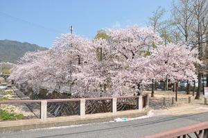 1605神戸市灘区、桜