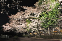 1601王子動物園、夜桜