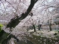 2057西宮の桜