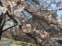 2095今年の桜