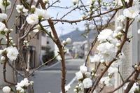1971桃の花
