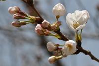 1021神戸市灘区も咲きました