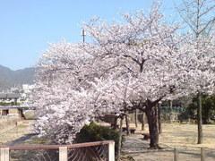 344神戸市灘区篠原南町・都賀川公園桜