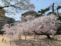 2434神戸市東灘区・桜