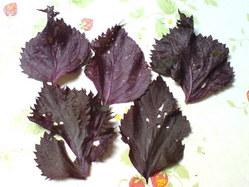 407無農薬栽培の紫蘇・2