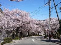 2056宝塚の桜