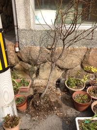 1966桃の植木鉢