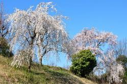 1033神戸市北区衝原ダムを抜け三木市の桜