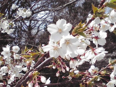 643桜前線、神戸市灘区王子公園