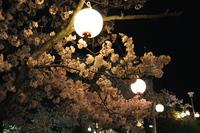 1045神戸市灘区護国神社、夜桜