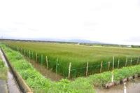 1631熊本県八代市、いぐさ