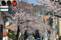 1046神戸市灘区摩耶ケーブル下、桜のトンネル