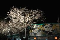 1600王子動物園、夜桜