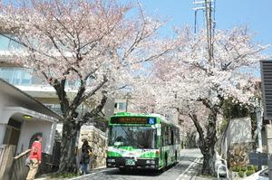 1604神戸市灘区、桜