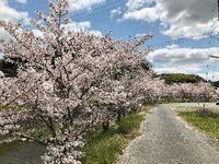 2304神戸市北区の桜