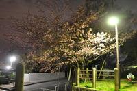 1977夜桜