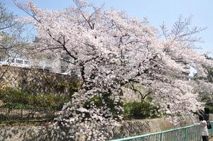 1602神戸市灘区、桜