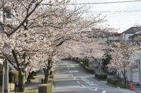 1036宝塚南口駅近くの桜
