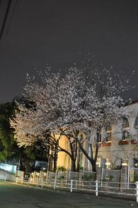 1979夜桜