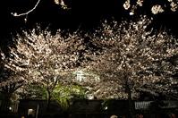 "1039神戸市立王子動物園""夜桜通り抜け"""