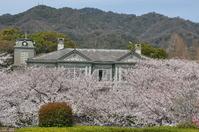 1069神戸市灘区王子動物園の桜