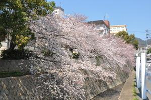 1603神戸市灘区、桜