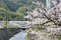1066新神戸駅の桜