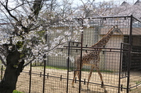 1070神戸市灘区王子動物園の桜