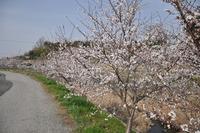 1389神戸市北区の桜