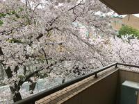 2102マンションからの桜