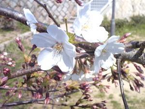648桜前線、神戸市灘区王子公園