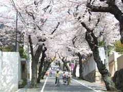 340神戸市灘区五毛通・桜のトンネル
