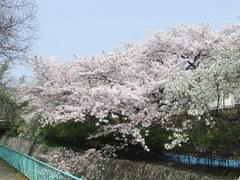 342神戸市灘区王子町・王子競技場東・桜
