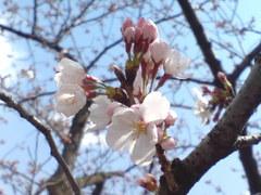 326神戸市灘区王子公園桜