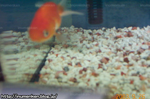 m_r_06(自分の部屋の写真_「水槽の中の金魚_(らんちゅう)」