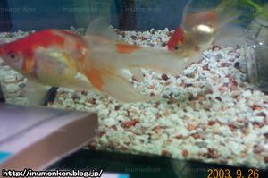 m_r_07(自分の部屋の写真_「水槽の中の金魚_(らんちゅう)」