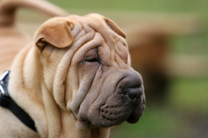 Chinese_Shar_Pei_Head
