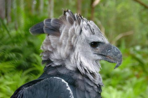 harpy-eagle-photos-4