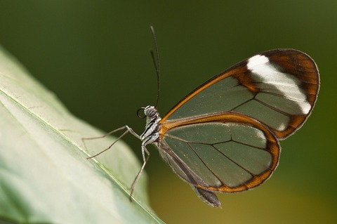 glass-wing-buttafly-photo